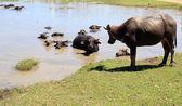 Buffalo at waterhole. — Stock Photo