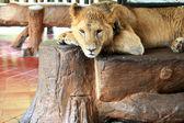 Porträtt av en vacker lejon — Stockfoto