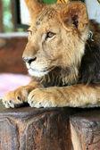 Portret van een mooie leeuw — Stockfoto