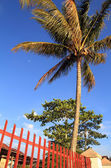 Coconut tree near the Toba lake — Stock Photo
