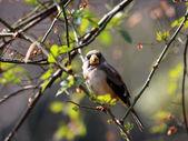 Gorrión en una rama — Foto de Stock