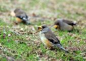 Sparrows on the grass — Stockfoto