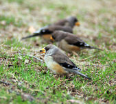 Sparrows on the grass — ストック写真