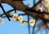 Prune fleur — Photo
