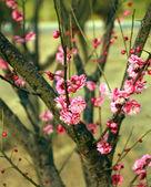 Plum flower — Stok fotoğraf
