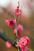 Plum flower — Stock Photo