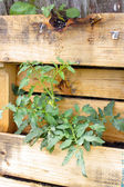 Tomato Plant in a Wooden Pallet — Stock Photo