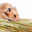 Hamster with food — Stock Photo