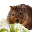 Stock Photo: Brown guinepig with cabbage leaves