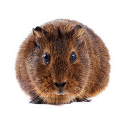Brown guinea pig — Stock Photo