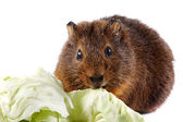 Brown guinea pig with cabbage leaves — Stock Photo