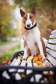 The red bull terrier sits on a bench — Stock Photo