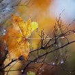 Autumn maple leaf — Stockfoto #14085586