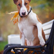The red bull terrier sits on a bench — Foto de Stock
