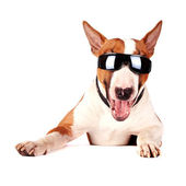 Cheerful bull terrier in sunglasses — Stock Photo