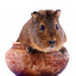 Stock Photo: Guinepig sits in clay pot