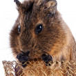 Stock Photo: Portrait of guinepig in basket