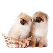 Puppies of a spitz-dog — Stock Photo