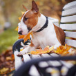 The red bull terrier lies on a bench - Stock Photo