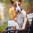 Red bull terrier sits on bench — Stock Photo #17115643