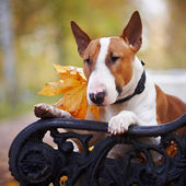 Portrait of a red bull terrier on a bench — Stock Photo