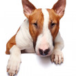Portrait of bull terrier — Stock Photo #17203759