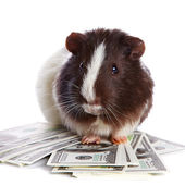 Guinea pig and dollars — Stock Photo