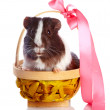 Guinea pig in a basket with a tape - Stock Photo
