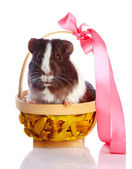 Guinea pig in a basket with a tape — Stock Photo