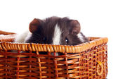 Portrait of a guinea pig in a wattled basket — Stock Photo