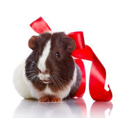 Guinea pig with a tape and a sphere — Stock Photo