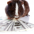 Guinea pig and dollars - Stock Photo