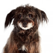 Portrait of small shaggy mongrel — Stock Photo #18647913