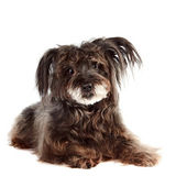 Small shaggy mongrel lies — Stock Photo