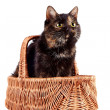 Cat in a wattled basket — Stock Photo