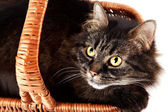 Portrait of a striped cat in a basket — Stock Photo