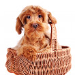 Decorative dog in a basket. — Stock Photo