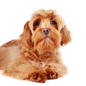 Portrait of a red decorative dog. — Stock Photo