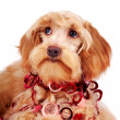Portrait of a decorative dog with red ornament — Stock Photo