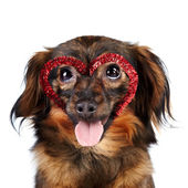 Portrait of a decorative dog with heart — Stock Photo