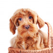 Decorative dog in basket. — Stock Photo #19232773