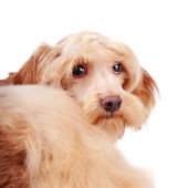 Portrait of a decorative beige fluffy dog — Stock Photo