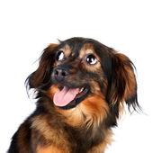 Portrait d'un chien décoratif — Photo