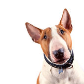 Portrait of a bull terrier — Stock Photo