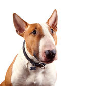 Portrait of a red bull terrier — Stock Photo