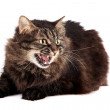 Stock Photo: Fluffy hissing cat