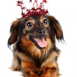 Decorative dog in a crown with stars — Stock Photo