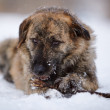 The dog gnaws a stick on snow. - Stock Photo