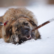 The shaggy dog gnaws a stick on snow. — Stock Photo