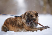 The shaggy mongrel gnaws a stick on snow. — Stock Photo